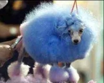Fluffy, the blew dog dirty dem poodle